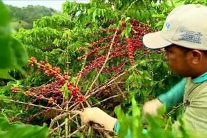 Emater-MG divulga nesta quarta-feira cartilha com cuidados contra a Covid-19 durante a colheita do café