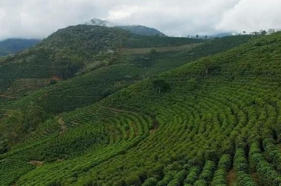Aumento da área em produção reduz perdas no café arábica