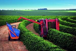 Colheita brasileira de café avança para 40% do total,...