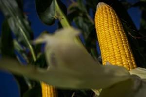 Estimativa da safra de grãos cai 1,2%, para 254...