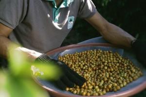 Seminário sobre Cafeicultura Orgânica será realizado pela Expocaccer