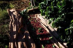 Safra de café em Minas Gerais deve ter redução de 38,1%