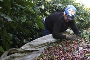 Cotação do café alcança a maior média em quase...